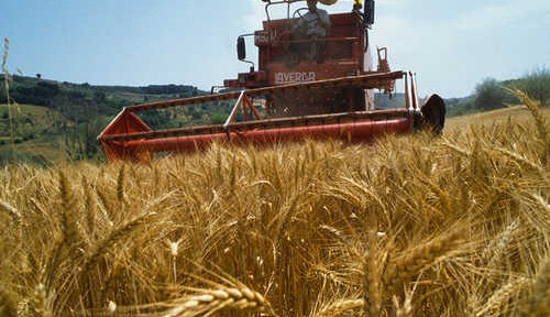 Farmer Harvesting Wheat Near Fiano